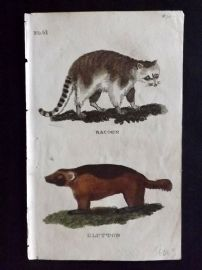 Brightly (Pub) 1811 Antique Hand Col Print. Racoon, Glutton